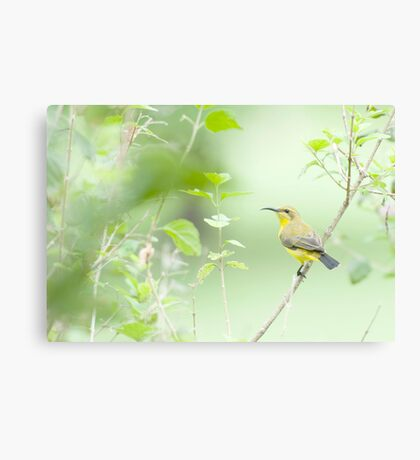 Bird in the bush - honey eater  Canvas Print