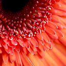gerbera daisy up close by lensbaby