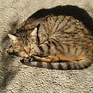 Cat in the sun by Fay  Hughes