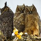 Great Horned Owl Fledglings by Chuck Gardner