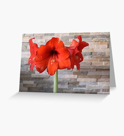 red hippeastrum Greeting Card