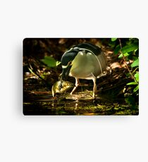 Night Heron and Catfish Canvas Print