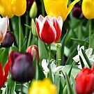 Tulips by Robin Black