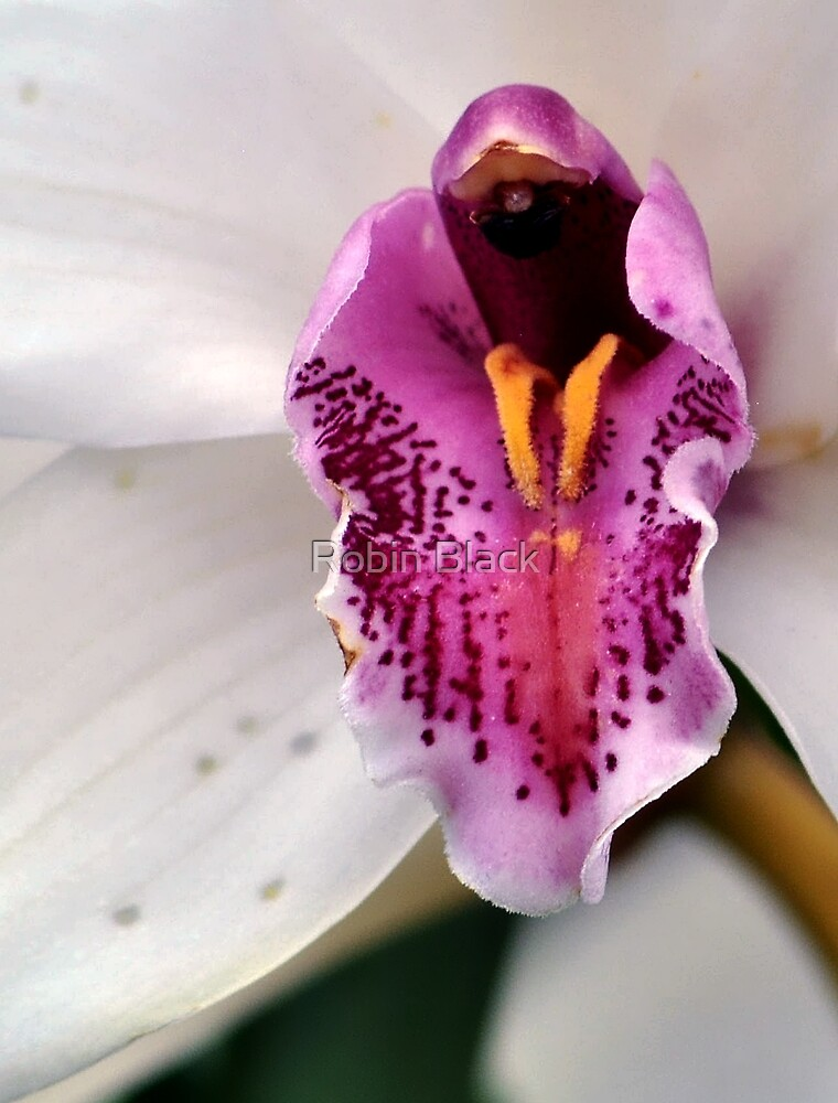 Orchid by Robin Black