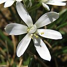 Star of Bethlehem Flower by Ron Russell