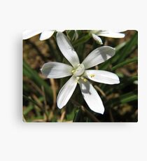 Star of Bethlehem Flower Leinwanddruck