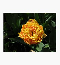 Glowing Golden Tulip Photographic Print