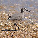 Outer Banks Willet by Robin Black