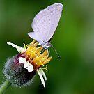 Winged Beauty... by cathywillett