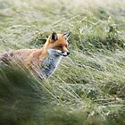 Red Fox On The Prowl by Nigel Tinlin