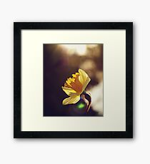 Narcissus in Sunset  Framed Print