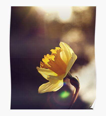Narcissus in Sunset  Poster