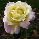 Peace rose in the fall by MarianBendeth