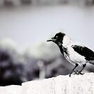 A Magpie Bird on the Wall by olivera kenic
