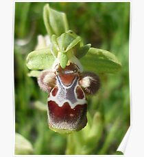 Yellow-rimmed Ophrys (Ophrys flavomarginata) Poster