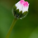Blossoming Daisy by toby snelgrove  IPA