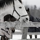 A white horse biting on the fence by olivera kenic