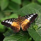 Clipper butterfly by Segalili