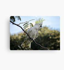 Sulfur crested cockatoo Canvas Print