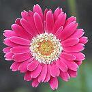 daisy by anfa77