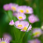 Fleabane Flowers by Christina Rollo