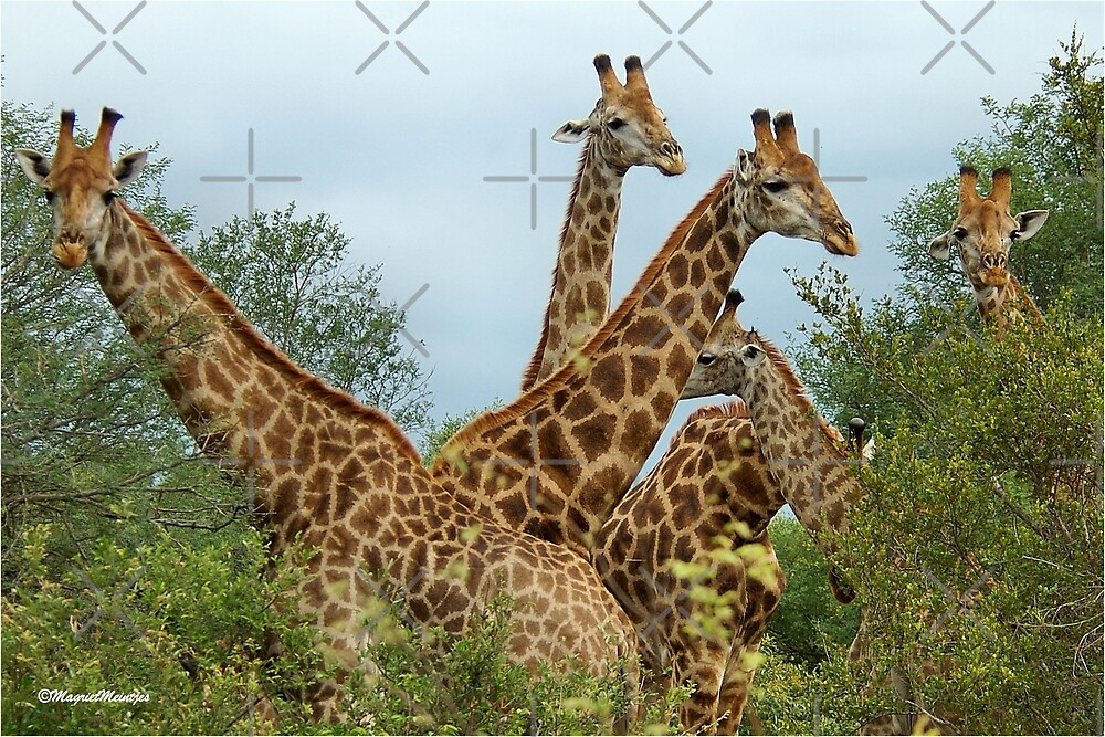 THE GATHERING - GIRAFFE – Giraffa Camelopardalis (KAMEELPERD) by Magriet Meintjes