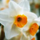 Daffodils  by Chris Cherry