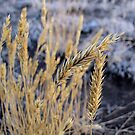 Wyoming Frost by aprilann