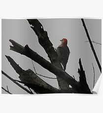 Red-Bellied Woodpecker Looks a Little Plump Poster