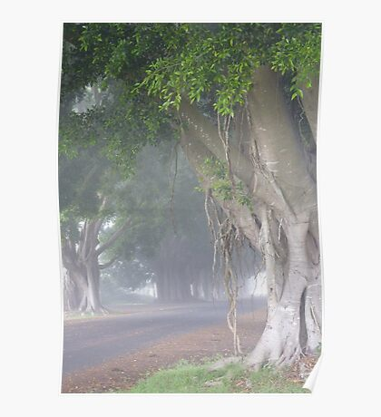 Misty Morning: Fig Tree Avenue, Grafton Poster