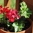 Geraniums on the Patio by Bine