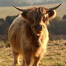 Young Highland Cow by SerenaB