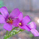 Rainbow Wings - Bee on Oxalis Flower by aprilann