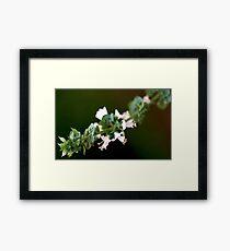 From My Garden - Basil Blossoms Framed Print