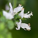 From My Garden - Basil Blossoms by Sandra Chung
