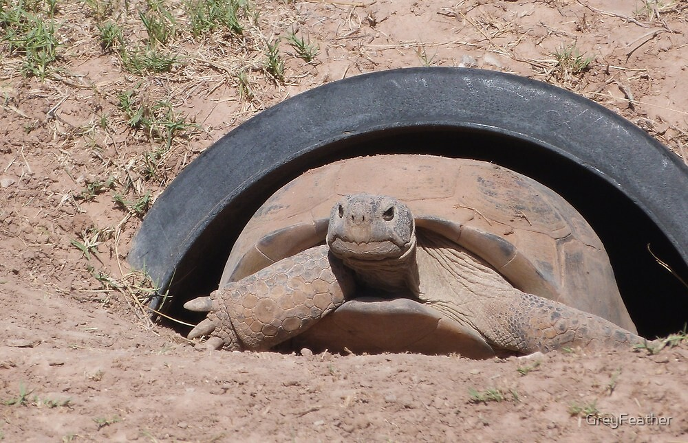 Bolson Tortoise of the Chihuahuan Desert by GreyFeather