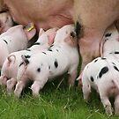 Little Piggies,  by John Lines