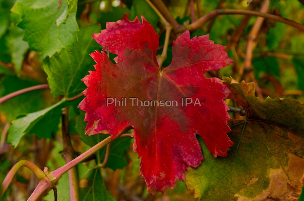 """Autumn In The Vines"" by Phil Thomson IPA"