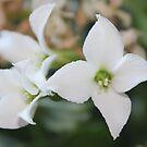 White Kalanchoe close-up by Stephen Thomas