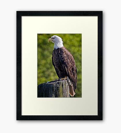 Regal Eagle Framed Print