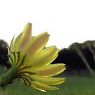 It Can't Be a Dandelion! by aprilann