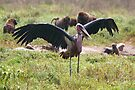 Marabou Stork Wing Flapping by Carole-Anne