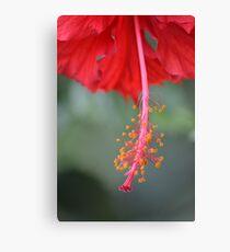 Hibiscus Stamen Canvas Print