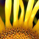 Sunflower by John Lines