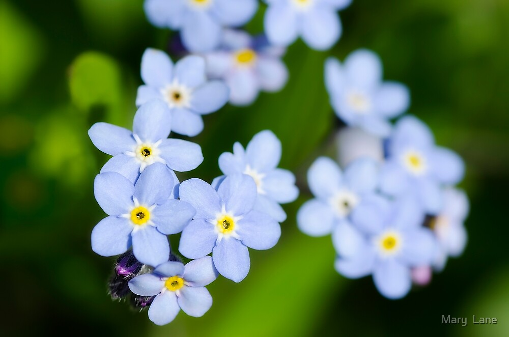 Forget-me-nots by Mary  Lane