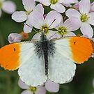 Male Orangetip by Robert Abraham
