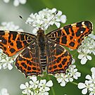 Map Butterfly On Cow Parsley by Robert Abraham