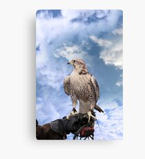 falcon perched on leather gloved hand Canvas Print