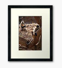 Langur Monkey in Tree Ranthambore Framed Print