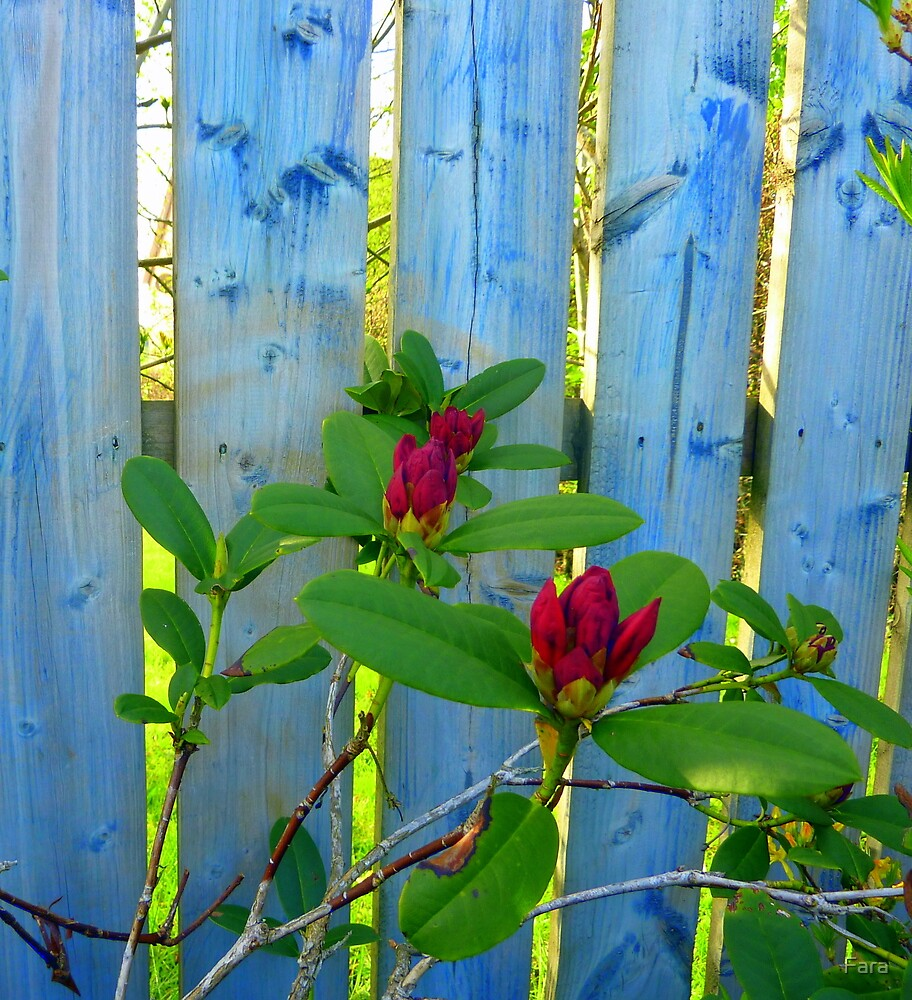 Rhododendron Buds  by Fara